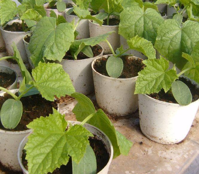 Для выращивания рассады огурцов вполне можно использовать торфяные таблетки или кокосовый субстрат